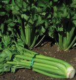 Celery, Celeriac, Fennel