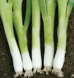 Leeks, Onions, Scallions